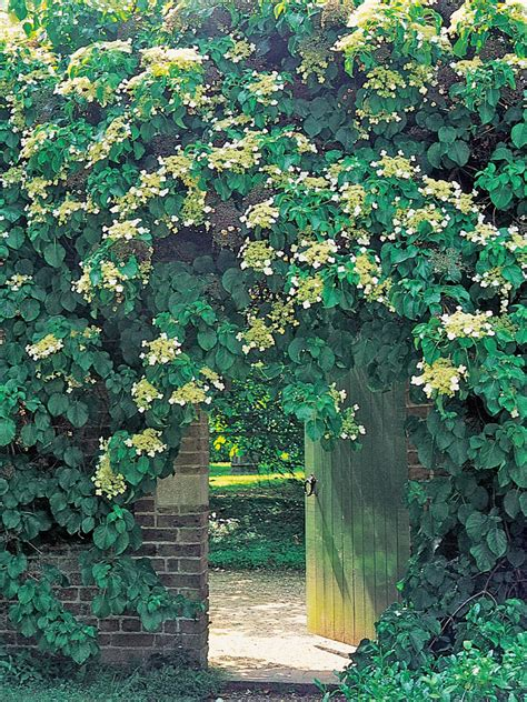 Climbing Vines For Trellis 15 Climbing Vines For Lattice Trellis Or Pergola
