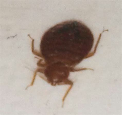 show me a picture of a bed bug insects biologistsoup