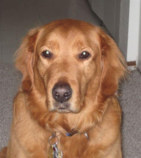 lipoma golden retriever gimme shelter fall 2015 the mosby foundation
