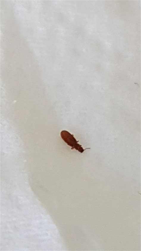 tiny brown bugs in bathroom identifying a tiny brown bug thriftyfun