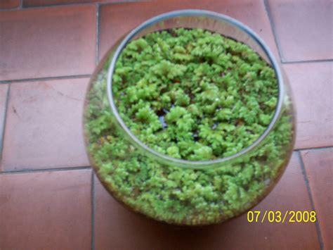 piante acquatiche in vaso le mie piante acquatiche
