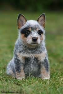 Australian cattle dog puppies rescue pictures information