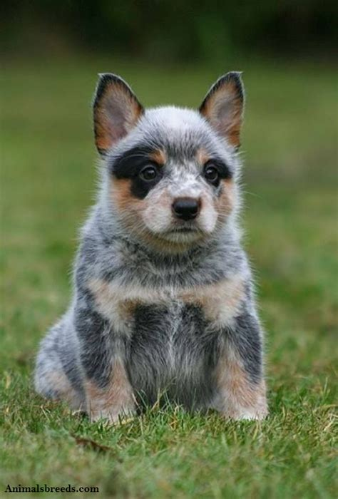 and blue heeler puppies australian cattle puppies rescue pictures