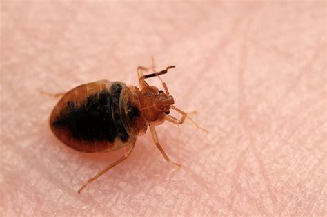 dream of bed bugs punaises de lit comment les pr 233 venir ou les 233 liminer