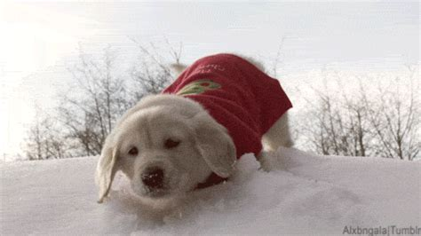 golden retriever puppy gif golden retriever animal gif find on giphy