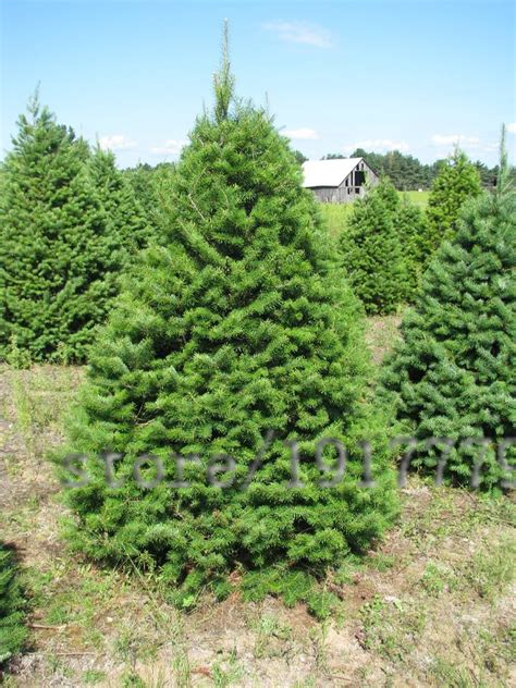 small conifers reviews online shopping small conifers