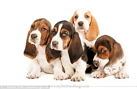 cortana show me pictures of floppy eared dogs cute enough to make us drool too heart melting puppy