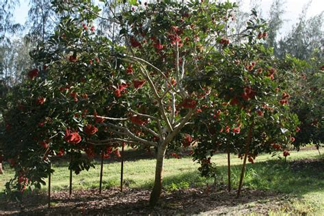 ahonui orchards kauai tropical fruit orchards for sale - Fruit Trees For Sale In California
