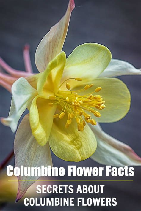 columbine flower facts gardening 101 flowers