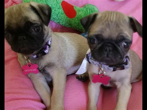 pug breeders vancouver pug for sale akc marketplace