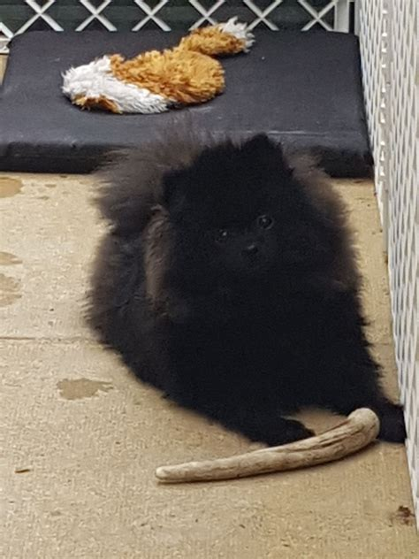 2 month pomeranian puppy gorgeous 7 month black pomeranian puppy wakefield west pets4homes