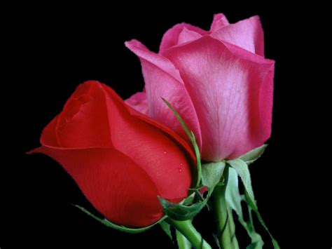02 Tk Mukena Flower Pink cool daily pics only roses high quality wallpapers
