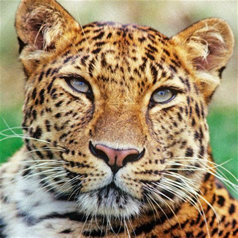 javan leopard  life  animals