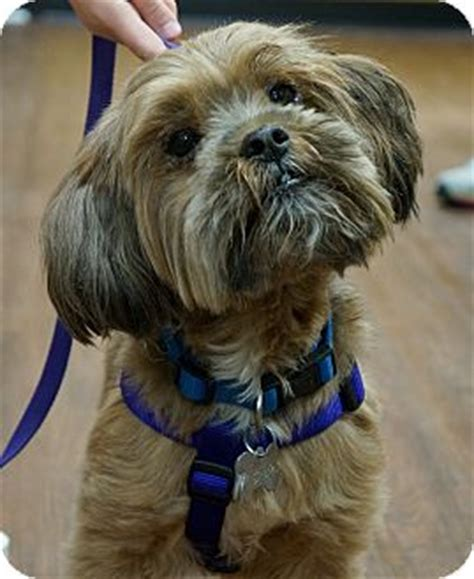 scottish terrier shih tzu mix hank adopted tn yorkie terrier shih tzu mix