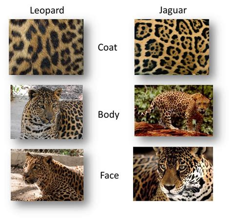 jaguar pattern house cat 277 best images about cat breeds on pinterest cats