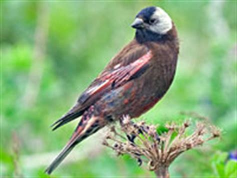 odfw oregon wildlife species finches grosbeak and