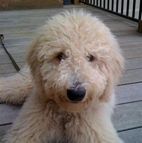 doodle span goldendoodle vs labradoodle look breeds picture