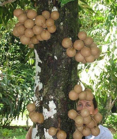 Bibit Tin Depok jual tanaman kepel burahol bibit