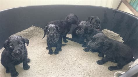 black puppies for sale black labrador puppies for sale hexham northumberland pets4homes