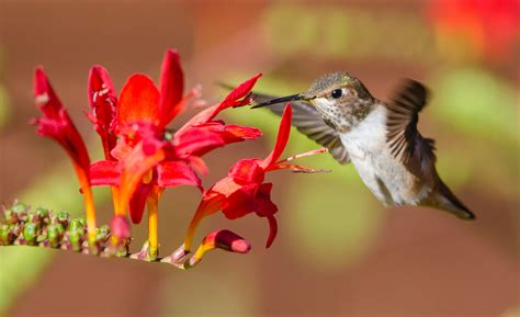 anna s hummingbirds as photographed by paul brewer