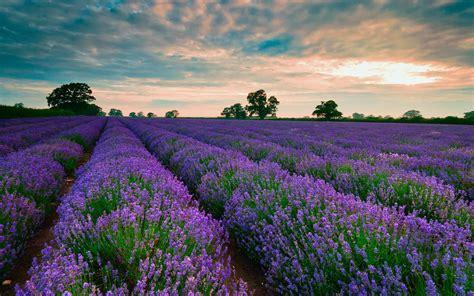 purple fields of lavender wallpaper 1082921