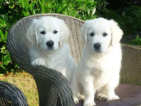 how fast do golden retriever puppies grow golden retriever breed information corner