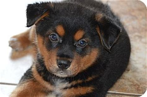 rottweiler australian cattle mix rottweiler australian cattle mix puppies dogs breeds picture breeds picture