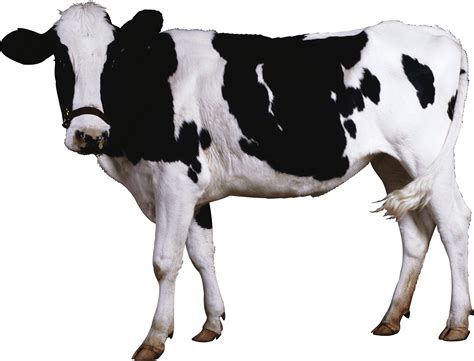 black white cow transparent png stickpng