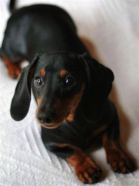 black and dachshund puppy 25 best ideas about black dachshund on wiener dogs black and