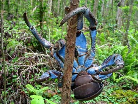 can eat coconut coconut crab