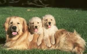Golden retriever pictures