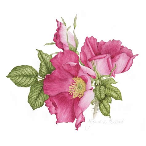 beginner s guide to botanical flower painting books yvonne collard the society of botanical artists