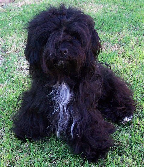 black havanese photos of havanese dogs and puppies r havanese