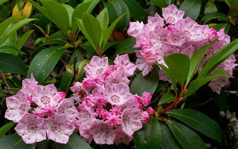 kalmia latifolia panoramio photo of pink mountain laurel kalmia latifolia