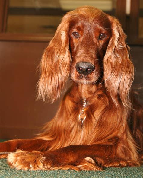 irish setter dog sad irish setter dog photo and wallpaper beautiful sad