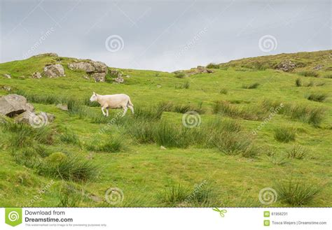 Sheep In Landscape At West Coast Of Scotland Stock Photo West Coast Landscaping