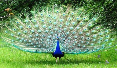 merak hijau aneka gambar burung merak yang menakjubkan pernik dunia