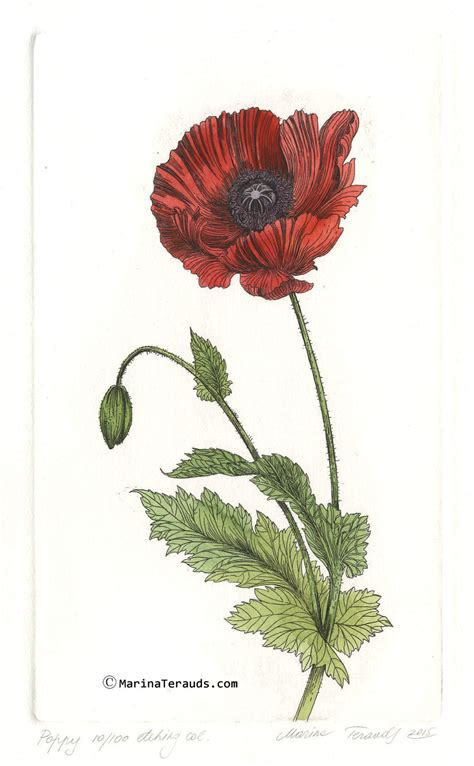 poppy botanical drawing pictures to pin on pinterest