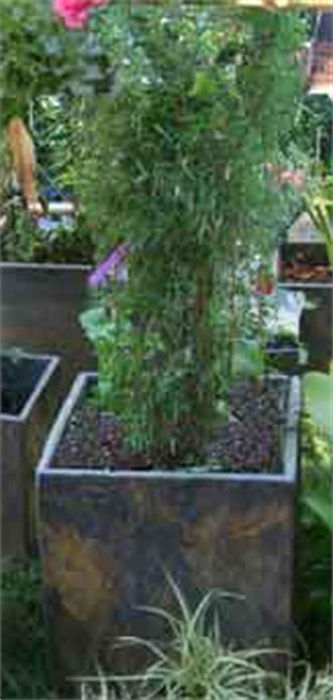 bambus lexikon bambus als k 252 belpflanze pflege