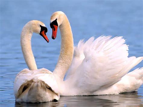 Swan Pics