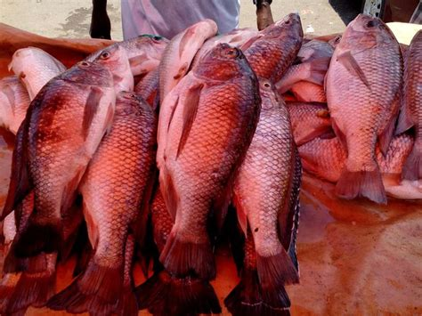 How To Raise Tilapia In Your Backyard by 1000 Images About Aquaponics And Hydroponics On