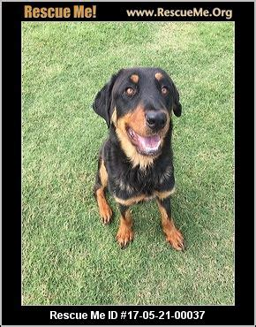 rottweiler rescue maine california rottweiler rescue adoptions rescueme org