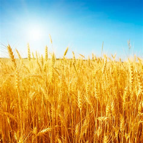 Acre Land by Wheat Production Sets New Records Thanks To Global Warming
