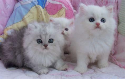 cara membuat oralit untuk kucing persia foto kucing persia lucu dan imut aneka info unik