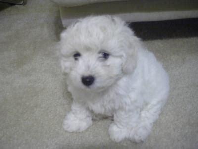 white maltipoo puppies white maltipoo puppy