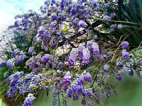 foto glicine in fiore e il tempo dei glicini in fiore sanremo come in una
