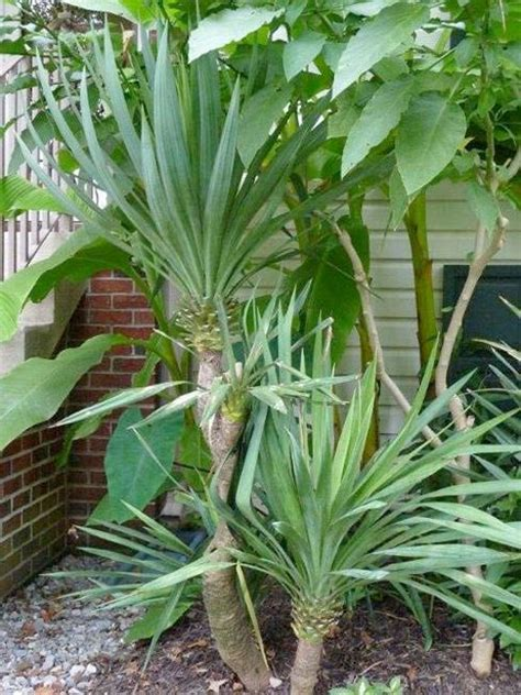 Hardy Patio Plants by 1000 Ideas About Yucca Plant On Yucca