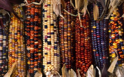 colorful corn multi colored ornamental indian corn hd wallpaper and
