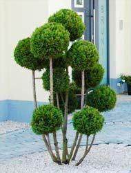 Lebensbaum Hecke Pflanzen 449 by Thuja Lebensbaum U Sonstige Pflanzungen