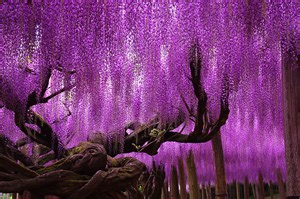 Blue Trellis Wallpaper This 144 Year Old Wisteria In Japan Looks Like A Pink Sky